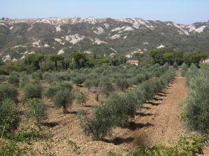 olivenbaum, olivenhain, wald blau, blue, forest, olive tree, olivenbäume