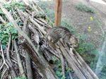nationalpark, thayatal, wildkatzen,