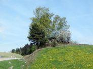 waldviertel, blüten, blossom, bloom, fleuraison, floraison, bäume, trees, arbres, albero, árbol,